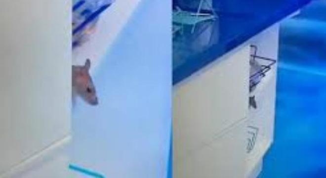 O rato Genílson, que apareceu no BBB2o